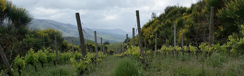 Mas D'Alezon Faugeres Le Presbytere vineyard